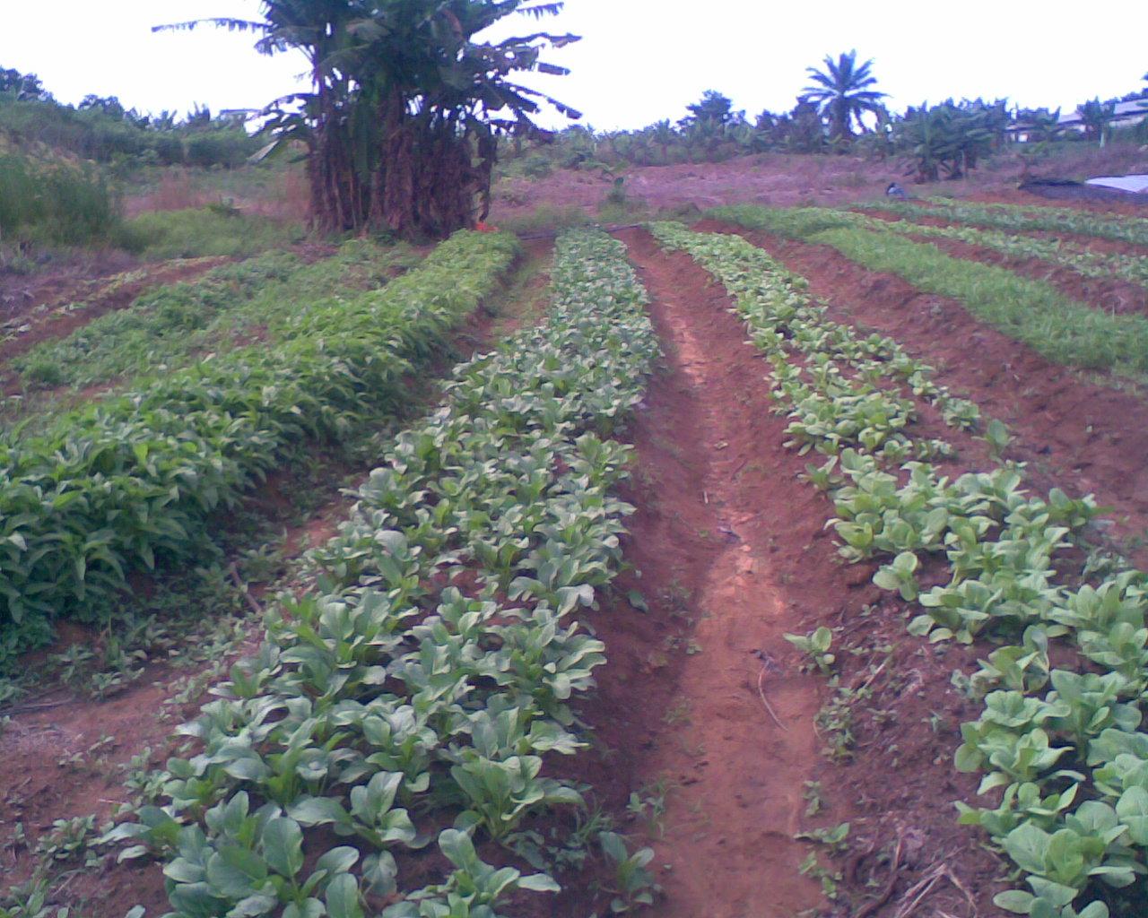 blog pertanian blog archive gambar kebun sayur
