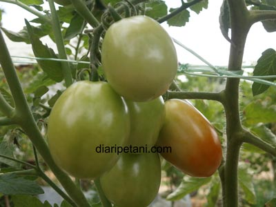 tomato-betavila1