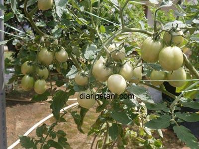 tomato-betavila2