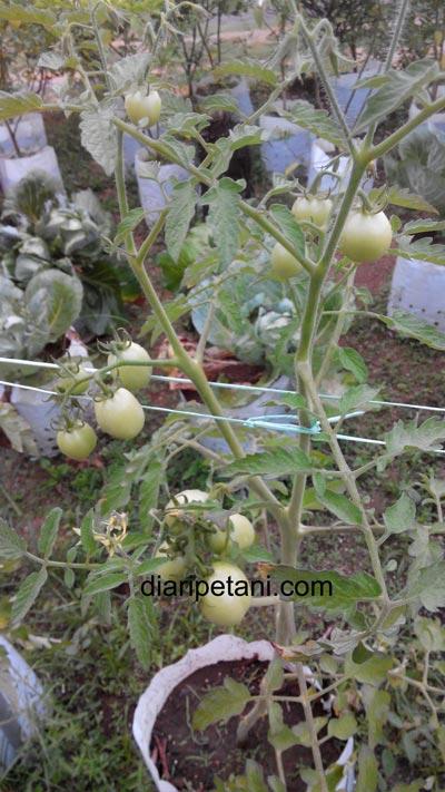 tomato-betavila3